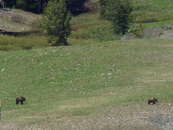 Grizzly bears on the side of the road in Wyoming.
